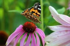Painted Lady on Cone Flower Explored 19.8.2019 #38 (abrideu) Tags: abrideu canoneos100d paintedlady butterfly coneflower vlinder macro depthoffield bright bokeh quebec park ngc explored explore npc