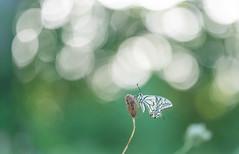 Surprise (Gilbert de Bruijn) Tags: swallowtail koninginnepage sigma150mmmacrof28 bokeh butterfly macro vlinder surprise beauty