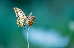 Fly (Gilbert de Bruijn) Tags: swallowtail koninginnepage sigma150mmmacrof28 bokeh butterfly macro vlinder surprise beauty