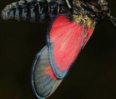 Emerging - 18 VIII 2019 (el.gritche) Tags: lepidoptera france 40 garden zygaenidae zygaenatrifolii