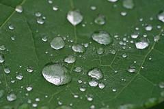 Droplets (kendoman26) Tags: hmm happymacromonday raindrop waterdroplets macro sonyalpha sonyphotographing sonya7mk2 sonya7ii sel90m28g