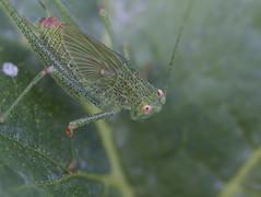 Petite verte (mr.j38160) Tags: macro insecte 70300
