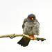 Redfooted Falcon 2019-06-04_16