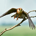 Redfooted Falcon 2019-06-04_15