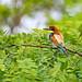 European Bee-eater 2019-07-06_07