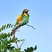 European Bee-eater 2019-07-06_05