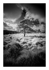 'Mimic' - Ashdown Forest / August 18th (Edd Allen) Tags: landscape ashdownforest woods woodland forest country countryside trees treescape clouds storm rain infrared blackandwhite bw monochrome foliage eastsussex uk southeast england greatbritain nikond610 nikon d610 zeissdistagon18mm serene bucolic