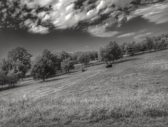 Landscape with a cow in the background (wojciechpolewski) Tags: cow trees nature field meadow clouds outdoor blanconegro blackwhite photo photos