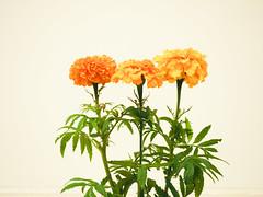 flower show-8171301 (E.........'s Diary) Tags: eddie ross newburgh fife scotland olympus omd em5 mark ii aug 2eddierossnewburghfifescotlandolympusomdem5markiiaug2019newburghflowershow