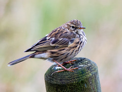 Meadow Pipit (Elmer Duck) Tags: meadowpipit bird skye nikond750 tamron150600mmg2