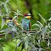 European Bee-eaters 2019-07-06_06