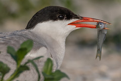 Common Tern (Kevin E Fox) Tags: commontern tern sternahirundo longisland newyork ny nickersonbeach lidobeach bird birdwatching birding birds birdphotography sigma150600sport sigma shorebirds shorebird nature nikond500 nikon