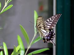 butterfly, Nagai Park (jtabn99) Tags: butterfly nagaipark botanical garden osaka japan nippon nihon higashisumiyoshi 20190609 agehacho アゲハチョウ 蝶々 昆虫 insect 大阪 日本 長居公園 長居植物園 店先