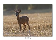 Chevreuil (Gaetan verry) Tags: canon calvados normandie nature wildlife faune faunesauvage 7d tamron 150600 chevreuil brocard