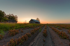 Sunset Over The Potato Rows (k009034) Tags: copyspace europe finland outdoors ruralscene tranquilscene agriculture barn barnhouse birch building clearsky country countryside crop farm farming horizonoverland idyllic landscape nature nopeople old plow plowedfield potato row rural sky summer sunset wooden