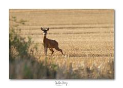 chevreuil (Gaetan verry) Tags: canon calvados tamron normandie animaux animal faune faunesauvage wildlife 150600 7d chevreuil brocard nature