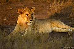 20190722 Tanzania-Serengueti (226) O01 (Nikobo3) Tags: áfrica tanzania serengueti safari animales león vidasalvaje naturaleza travel viajes nikon nikond610 d610 nikon300mmf4epfvr tc14eiii nikobo joségarcíacobo