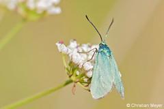2014.05.24 - 0031 - Turquoise de la globulaire Séné © (chmeyer51) Tags: insecte papillon turquoisedelaglobulaire lépidoptère zygaenidae procridinae jordanitaglobulariae adscitaglobulariaehb