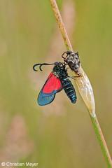 2014.05.24 - 0033 - Zygène du trèfle et chrysalide Séné © (chmeyer51) Tags: insecte papillon zygènedutrèfle lépidoptère zygaenidae zygaeninae zygaenatrifolii chrysalide