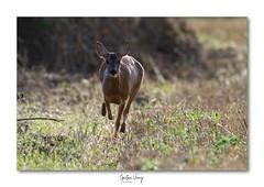 Chevrette (Gaetan verry) Tags: canon calvados normandie tamron 150600 7d wildlife faune faunesauvage nature