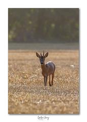 chevreuil (Gaetan verry) Tags: canon calvados chevreuil brocard tamron 150600 7d normandie wildlife faune faunesauvage