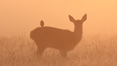 Red Deer calf (Hammerchewer) Tags: reddeer deer calf starling bird sunrise mist wildlife outdoor