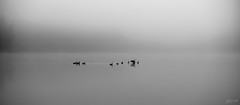 (Mr. Tailwagger) Tags: leica m10 summilux 75mm tailwagger walden pond concord ma water fowl fog
