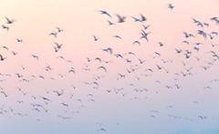 IMG_0025y (gzammarchi) Tags: italia paesaggio natura mare ravenna lidodidante alba uccello volo stormo gabbiano poesia haiku