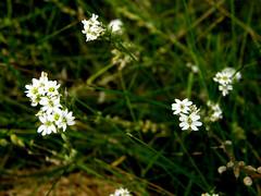 Flowers (galterrashulc) Tags: latvia riga jugla rīga latvija flowers grass green nature flora summer irina galitskaya galterrashulc