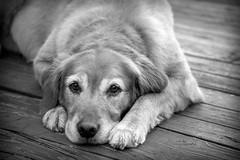 Olive I (Alexander Day) Tags: olive golden retriever dog dogs animal animals mammal mammals blackandwhite monochrome banks lake greenville gowen mi michigan alex alexander day