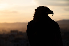 Big Bird (Aphélie) Tags: mongolia mongolie eagle aigle oulan bator bataar sun set coucher soleil