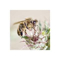 Abeja (EFD-fotolab) Tags: nikkor105mm nikon nikond610 macrofotografia macro insectos abejas naturaleza