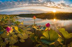 The magic of the morning (Lashkov Fedor) Tags: astrakhanregion river water volga dawn lotus lotuses travel flower volgadelta sun rays sky leaves green reflection