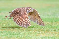 Burrowing owl (cbjphoto) Tags: arizona bird carljackson avian birdofprey burrowing inflight owl owls photography raptor