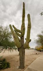 Saguaro Cactus (rschnaible) Tags: pima air space museum arizona outdoor botanical saguaro cactus desert southwest