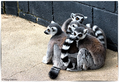 A Conspiring Sphere of Lemurs. (Missy2004) Tags: nikkor70300mmf4556afsifedvr lemur ringtailed sphere conspiracy 119picturesin2019 95119