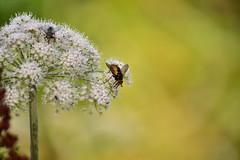 Feeding station (Drew Scott :))) Tags: outdoor flower blossom bloom cowparsley plant fly flies feeding background bokeh summer nature nikon d3200 nikkor 55200mm