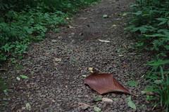 A huge leaf (しまむー) Tags: pentax k30 da 35mm f28 macro limited natural ナチュラル 東北大学 植物園 tohoku university botanical garden 青葉山