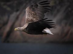 Birds (I) (Maximilian Busl) Tags: norwegen austagder tengelfjord sea sky bird nature birds animals norway nikon eagle wildlife north lofoten d3 d3s