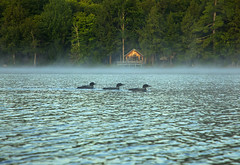 Loonie (Matt Champlin) Tags: loons loonie summer summertime amazing bird birding lake lakelife nature outdoors camping hike hiking canon 2019 adk adirondacks