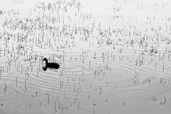 PINs (Wackelaugen) Tags: duck water ripples lake nature animal bärensee stuttgart germany canon eos 760d photo photography stephan wackelaugen black white bw blackwhite blackandwhite mono noiretblanc schwarz weis schwarzweis