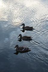 Balade matinale sur le lac. (Josée Ferland) Tags: canard
