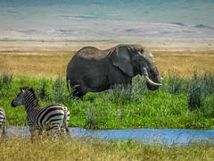 NGORONGORO CRATER FLOOR (eliewolfphotography) Tags: nature naturelovers nikon naturephotography ngorongoro natgeo naturephotographer natgeowild nationalgeographic elephant elephants africa animals safari safariphotography