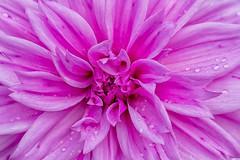 Dahlia After the Rain (John Fenner) Tags: olympus em1 markii mzuiko 40150mm f28 pro zoom lens dahlia flower nature petals rain water