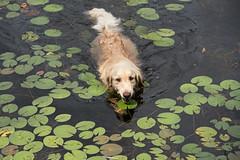 Furry Waterlily D7C_9810 (iloleo) Tags: sherman goldenretriever swim waterlilies nature dog animal bobslake ontario nikon d750