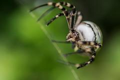 trama o non trama (anarcnide) Tags: ragno spider ragnovespa macro d3300 nikon reflex sigma 105