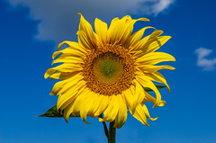 Yellow sunflowers (ivan_volchek) Tags: agriculture background beautiful bloom blooming blossom blue botany bright closeup cloud colorful country countryside field flora floral flower golden head herb lush meadow nature nobody one orange outdoors petals plant rural season seed single sky space summer sun sunflower sunlight sunny vibrant yellow