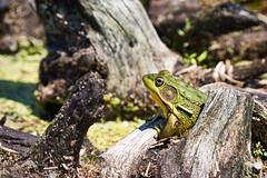 Feeling bullish (Wicked Dark Photography) Tags: wisconsin amphibian animal animals bullfrog closeup critter frog nature spring wildlife
