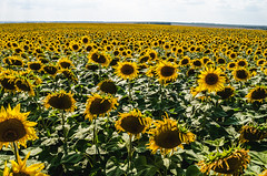 Sunflowers grow on the field (ivan_volchek) Tags: agricultural agriculture background beautiful beauty blooming blossom boundless bright circle colorful crop endless farm farming field floral flower green harvest infinite land landscape magnificent nature oil petal plant production rural russia season seed summer sunflower sunlight unlimited vibrant yellow
