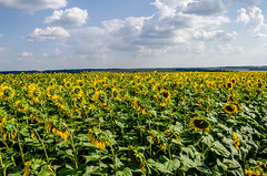 Agricultural field (ivan_volchek) Tags: agricultural agriculture background beautiful beauty blooming blossom boundless bright circle colorful crop endless farm farming field floral flower green harvest infinite land landscape magnificent nature oil petal plant production rural russia season seed summer sunflower sunlight unlimited vibrant yellow